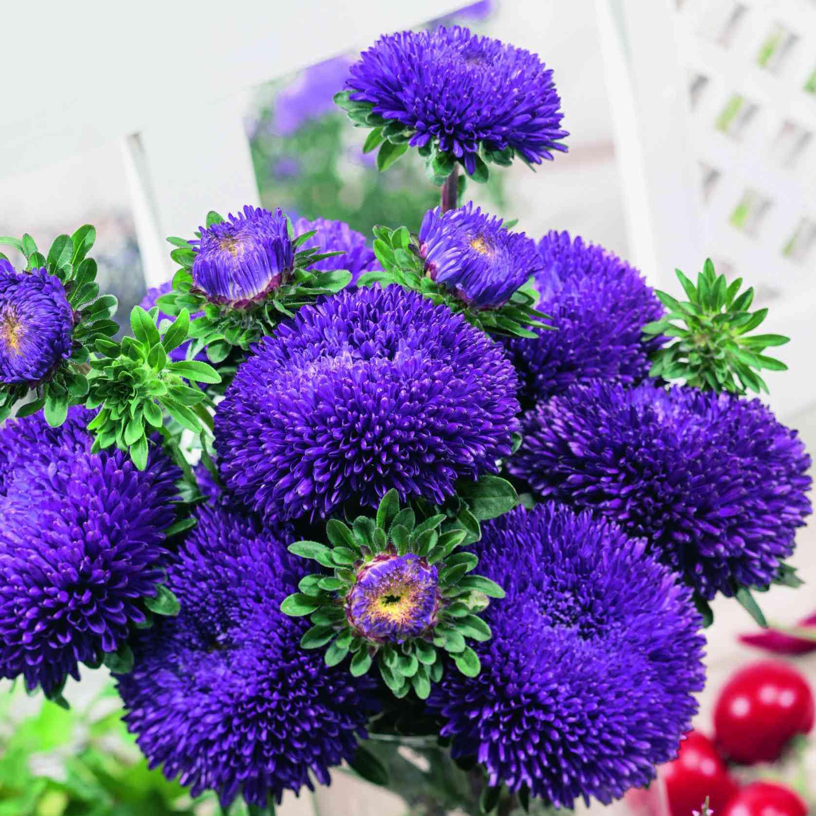 astra__BALLOON_Violet_Blue.jpg