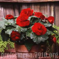 Бегония AmeriHybrid Roseform Red - 5 шт  NEW!!!