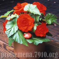 Бегония AmeriHybrid Roseform Scarlet Orange - 5 шт  NEW!!!