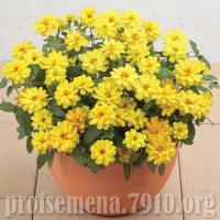 Цинния гибридная Profusion double Yellow - 10 шт